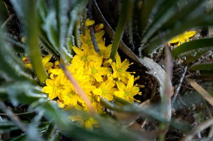 Wildflowers Conostylis_aculeata_Bootrock | Great Southern Treasures, Western Australia